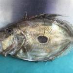 マトウ鯛3